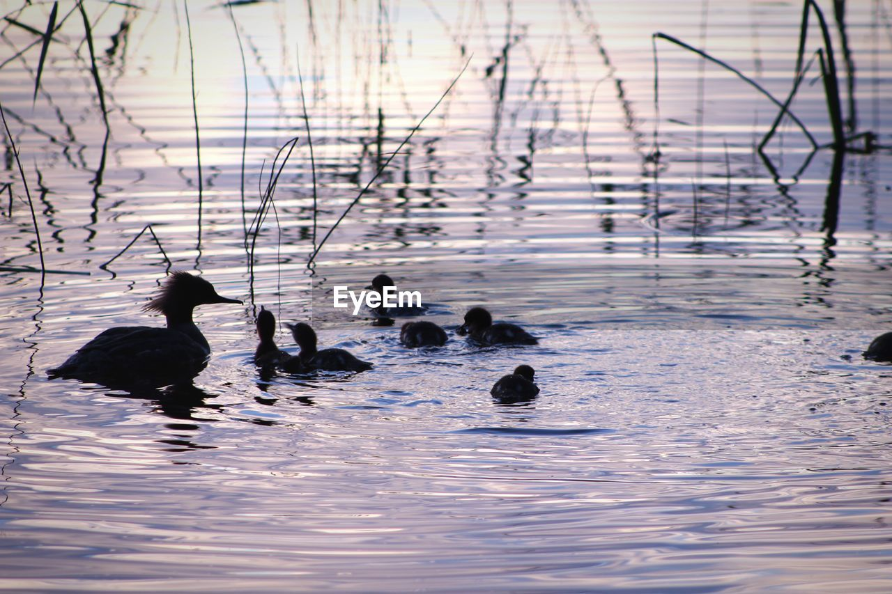 water, animal themes, bird, animals in the wild, animal, vertebrate, animal wildlife, swimming, group of animals, waterfront, lake, nature, beauty in nature, no people, poultry, duck, day, outdoors, medium group of animals, animal family