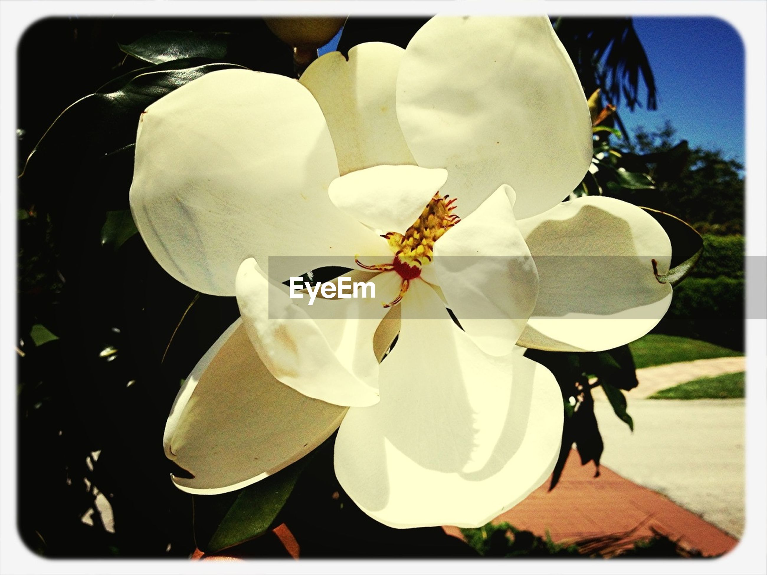 transfer print, flower, petal, auto post production filter, flower head, fragility, freshness, growth, white color, close-up, beauty in nature, plant, blooming, nature, leaf, focus on foreground, day, in bloom, blossom, stamen