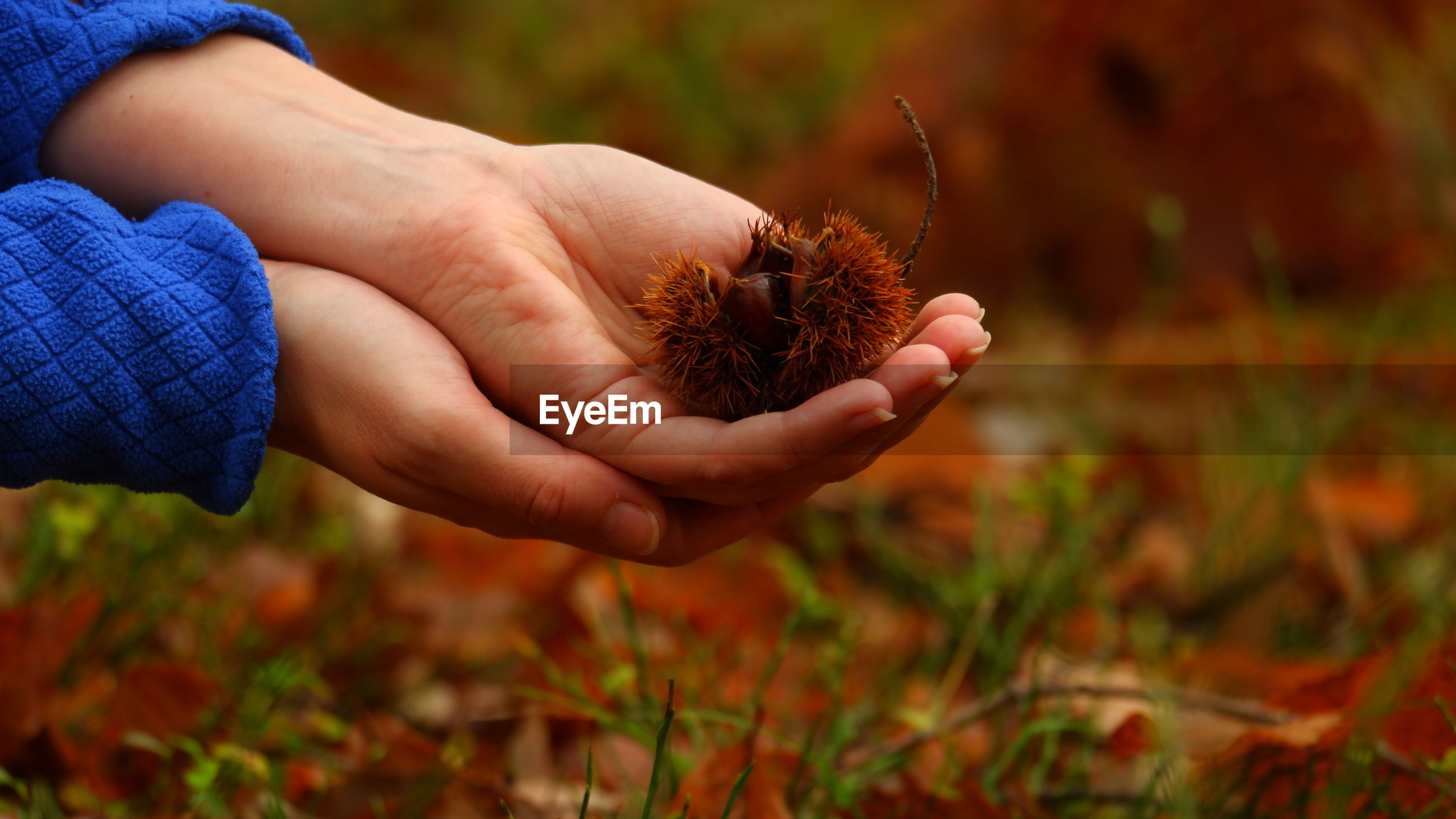 Close-up of hand holding chestnut on field