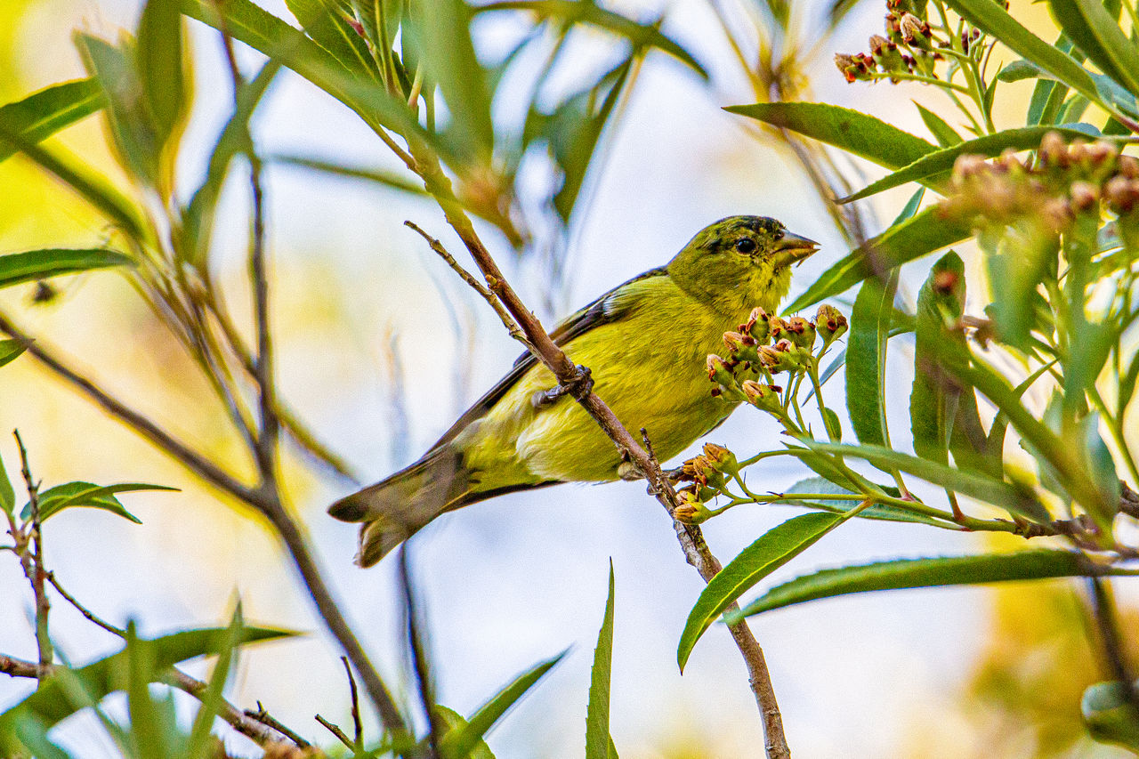 animal wildlife, animal themes, one animal, animals in the wild, vertebrate, animal, bird, perching, plant, tree, branch, leaf, plant part, nature, green color, day, no people, focus on foreground, outdoors, beauty in nature