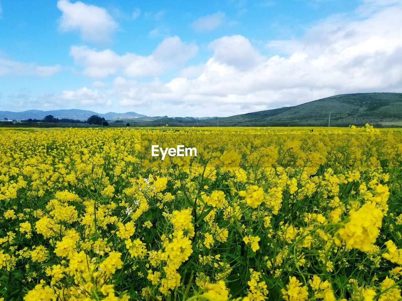 yellow, agriculture, oilseed rape, nature, beauty in nature, flower, field, tranquility, rural scene, crop, farm, tranquil scene, cultivated land, landscape, mustard plant, scenics, growth, sky, day, no people, cultivated, springtime, cloud - sky, outdoors, plant, freshness, fragility