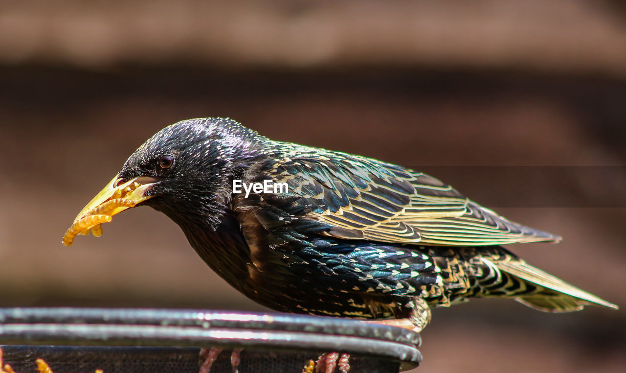 bird, animal themes, animal, animal wildlife, animals in the wild, one animal, focus on foreground, vertebrate, close-up, day, no people, beak, nature, side view, perching, sunlight, food, outdoors, looking, railing, animal head, profile view