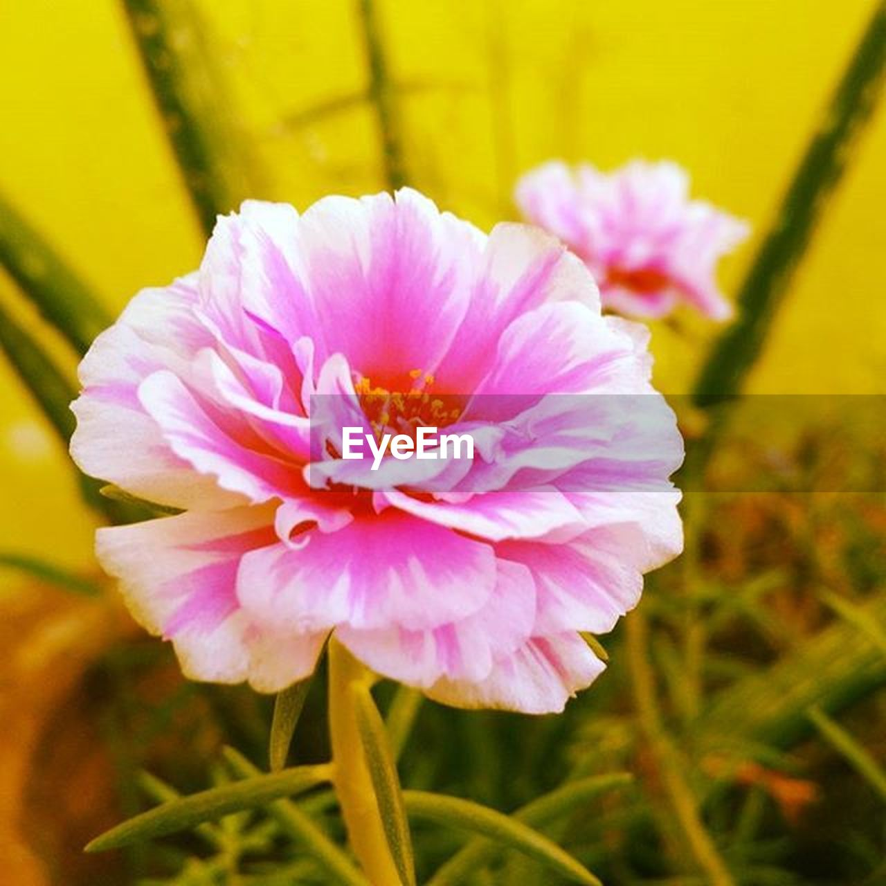 flower, nature, petal, beauty in nature, flower head, close-up, fragility, plant, pink color, focus on foreground, no people, freshness, peony, growth, outdoors, day, grass