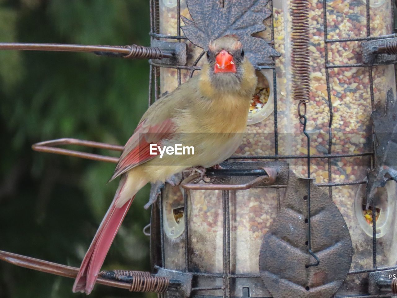 animal themes, animal, bird, vertebrate, one animal, animal wildlife, perching, animals in the wild, focus on foreground, close-up, bird feeder, no people, day, metal, nature, branch, outdoors, cardinal - bird, cage, male animal