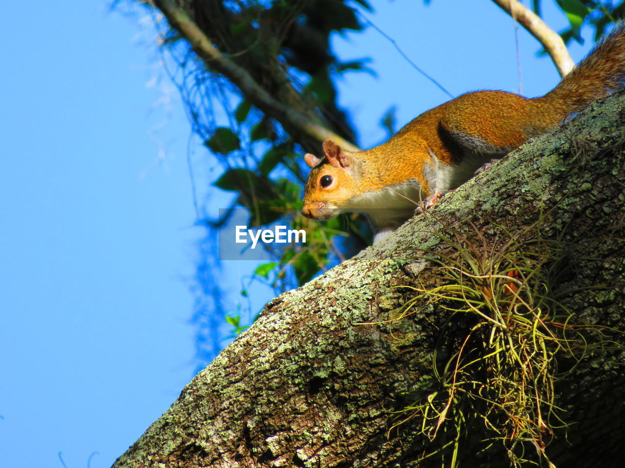 animal themes, animal, animal wildlife, animals in the wild, tree, one animal, vertebrate, plant, nature, branch, no people, low angle view, squirrel, rodent, day, sky, outdoors, tree trunk, blue, focus on foreground