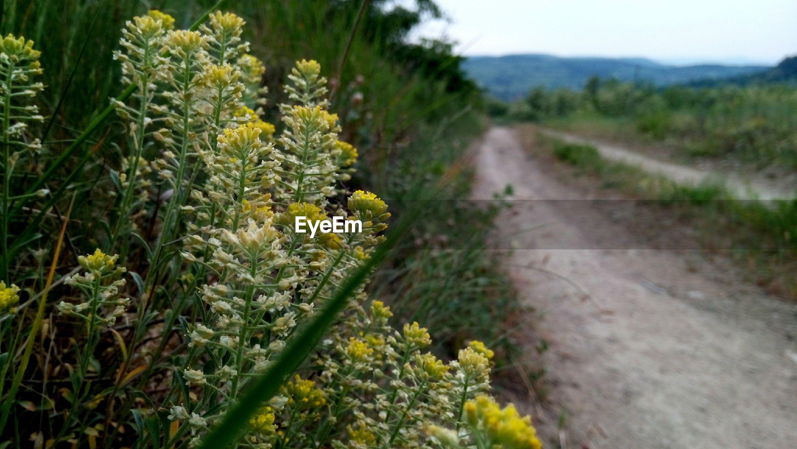 Wildflowers by dirt road