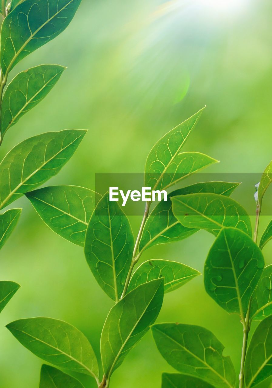 leaf, plant part, green color, plant, growth, beauty in nature, close-up, nature, no people, day, outdoors, leaves, focus on foreground, freshness, tranquility, leaf vein, tree, twig, vulnerability, plant stem