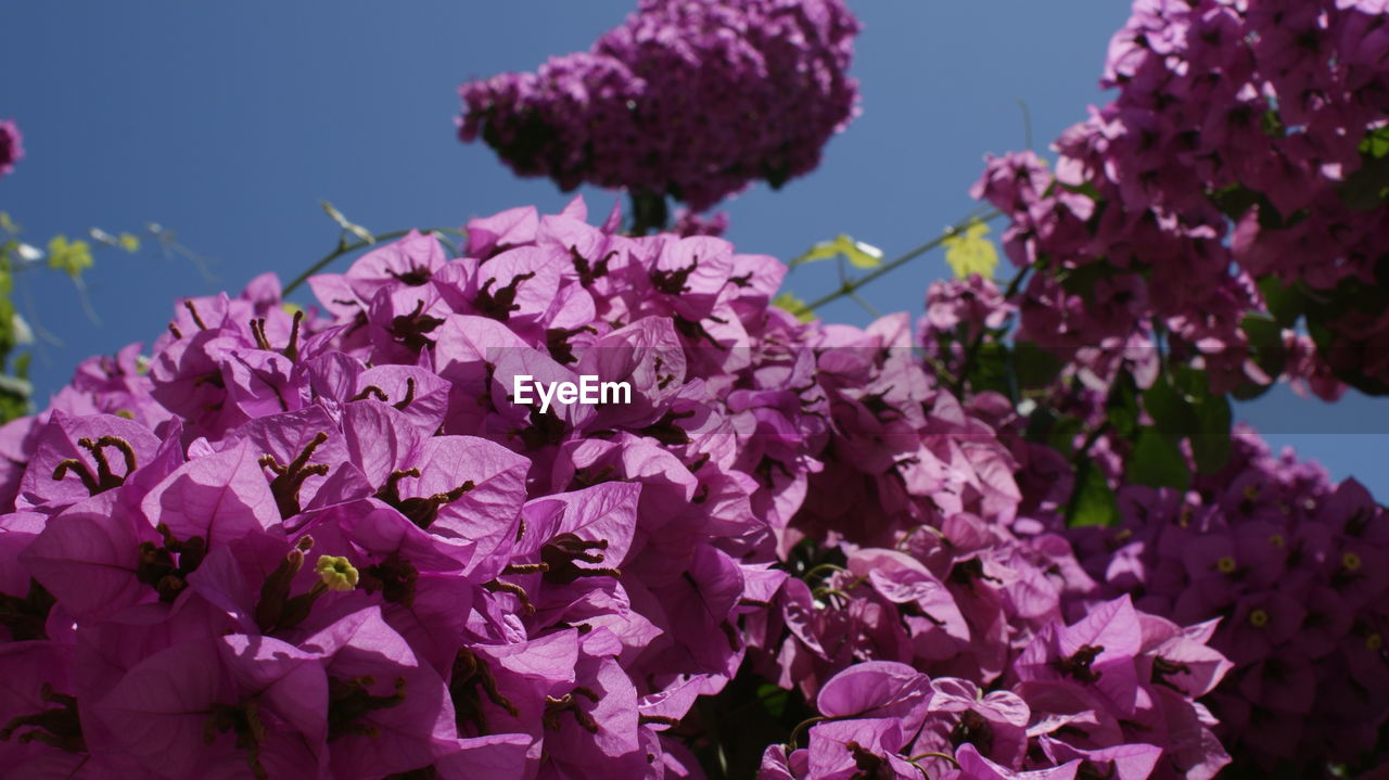 flower, growth, fragility, beauty in nature, nature, freshness, petal, no people, plant, blooming, outdoors, pink color, day, flower head, purple, focus on foreground, springtime, close-up, low angle view, lilac, clear sky, tree, sky