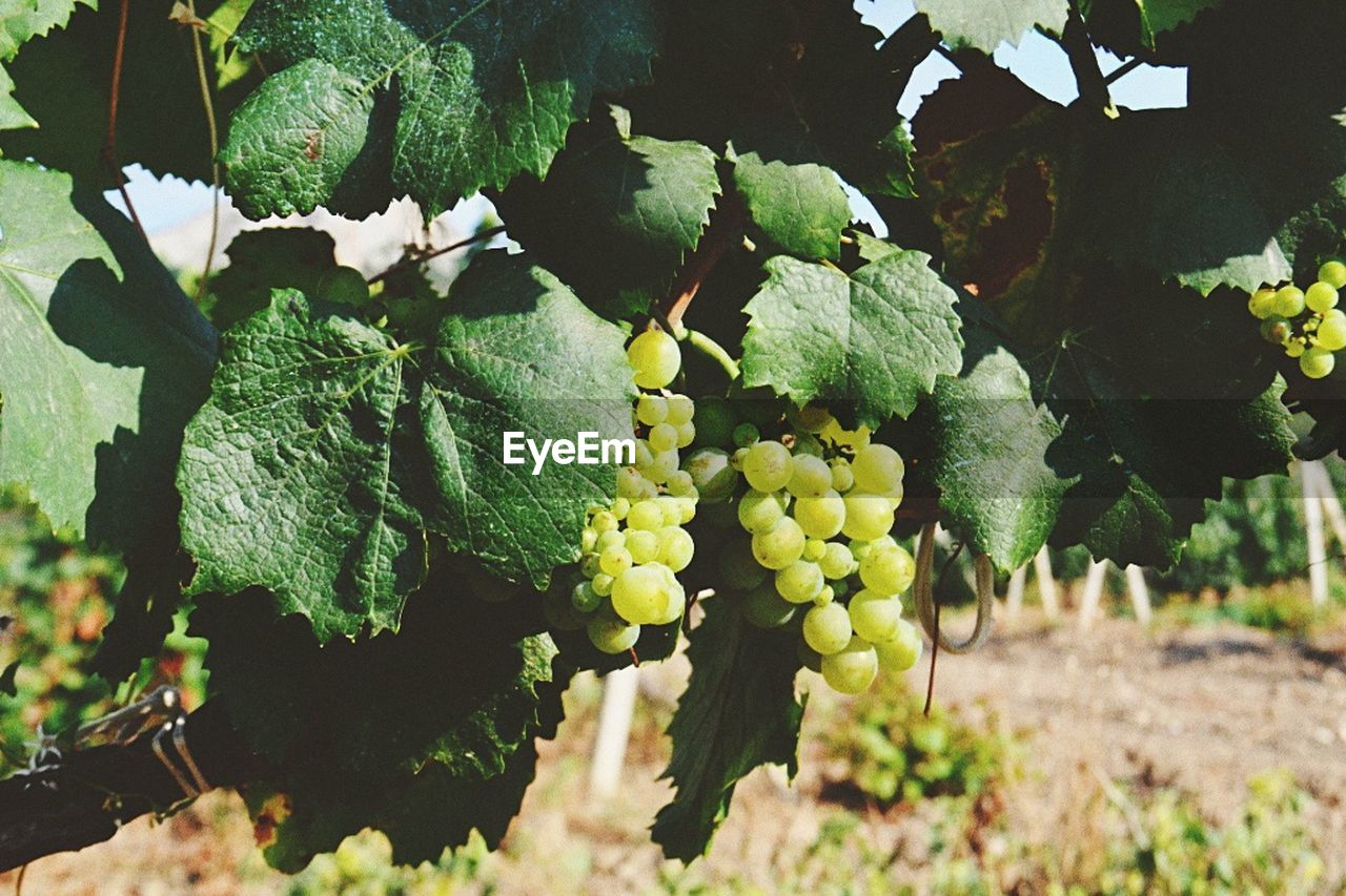 growth, plant, food and drink, leaf, plant part, healthy eating, food, fruit, nature, green color, freshness, grape, vineyard, beauty in nature, no people, day, close-up, agriculture, bunch, field, outdoors, winemaking, ripe, plantation