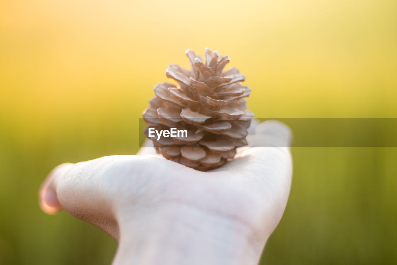 Cropped hand of woman holding pine cone outdoors