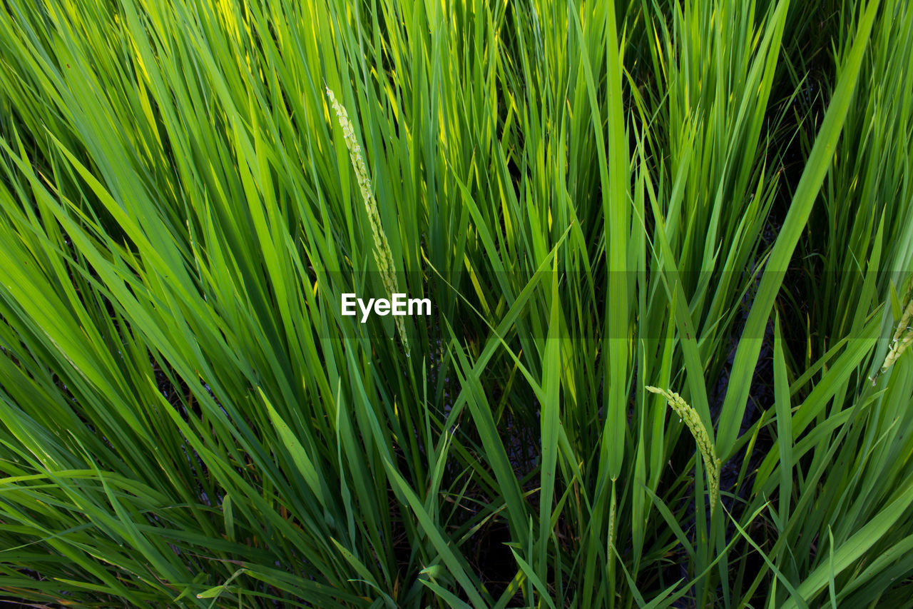 Full Frame Shot Of Rice Growing On Green Field