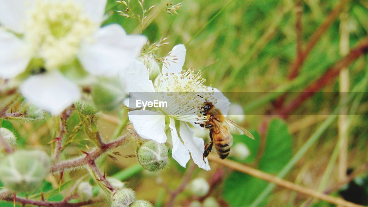insect, one animal, animal themes, animals in the wild, white color, flower, nature, bee, wildlife, no people, fragility, growth, beauty in nature, animal wildlife, pollination, day, plant, outdoors, close-up, flower head, buzzing, freshness