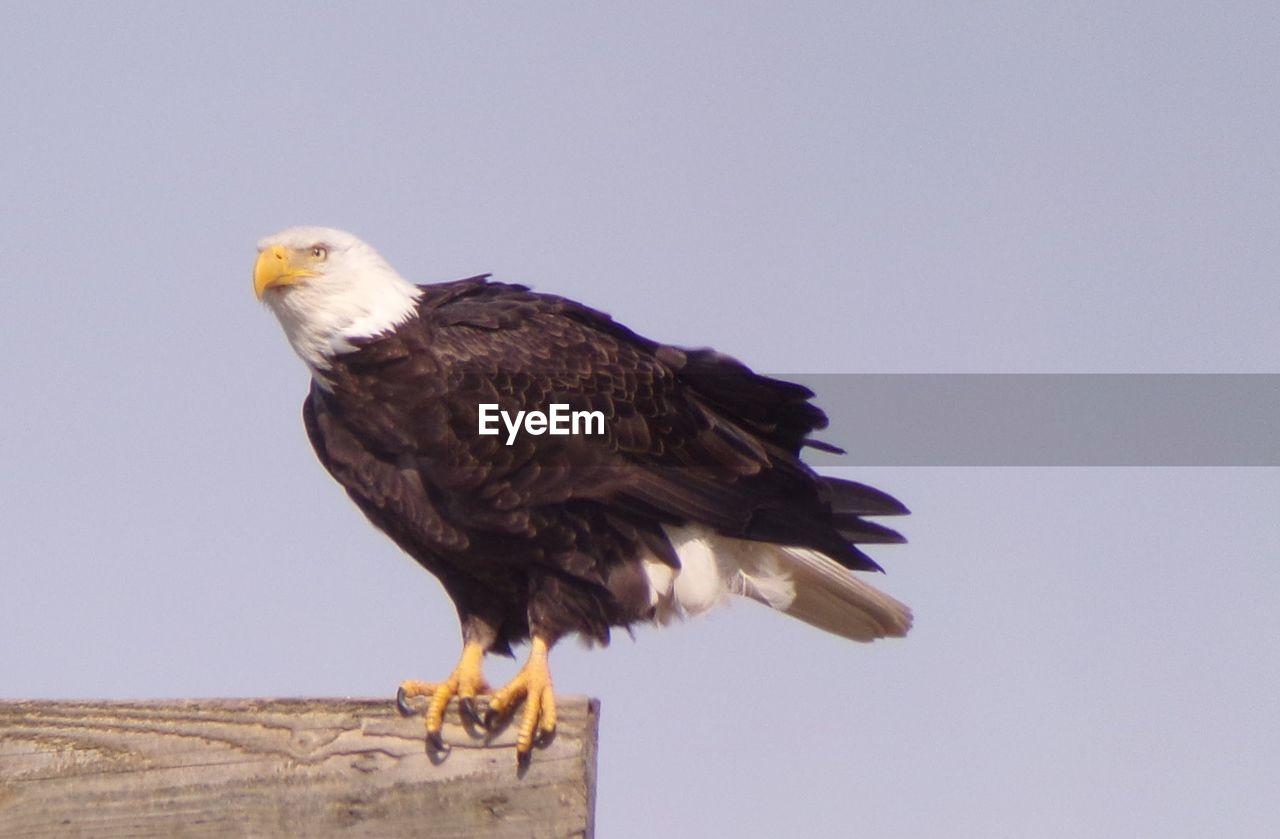 animal, animal themes, bird, one animal, vertebrate, animal wildlife, animals in the wild, sky, clear sky, bird of prey, perching, eagle, copy space, low angle view, nature, no people, bald eagle, day, eagle - bird, wood - material, beak