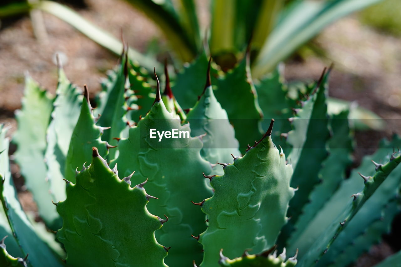 green color, growth, succulent plant, plant, close-up, plant part, thorn, beauty in nature, leaf, nature, no people, cactus, spiked, day, selective focus, sharp, aloe vera plant, outdoors, focus on foreground, healthcare and medicine, spiky