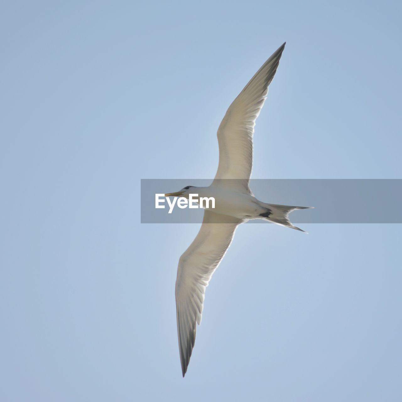 spread wings, flying, animals in the wild, animal wildlife, animal themes, sky, bird, animal, vertebrate, clear sky, one animal, low angle view, mid-air, no people, motion, nature, day, copy space, seagull, white color, outdoors
