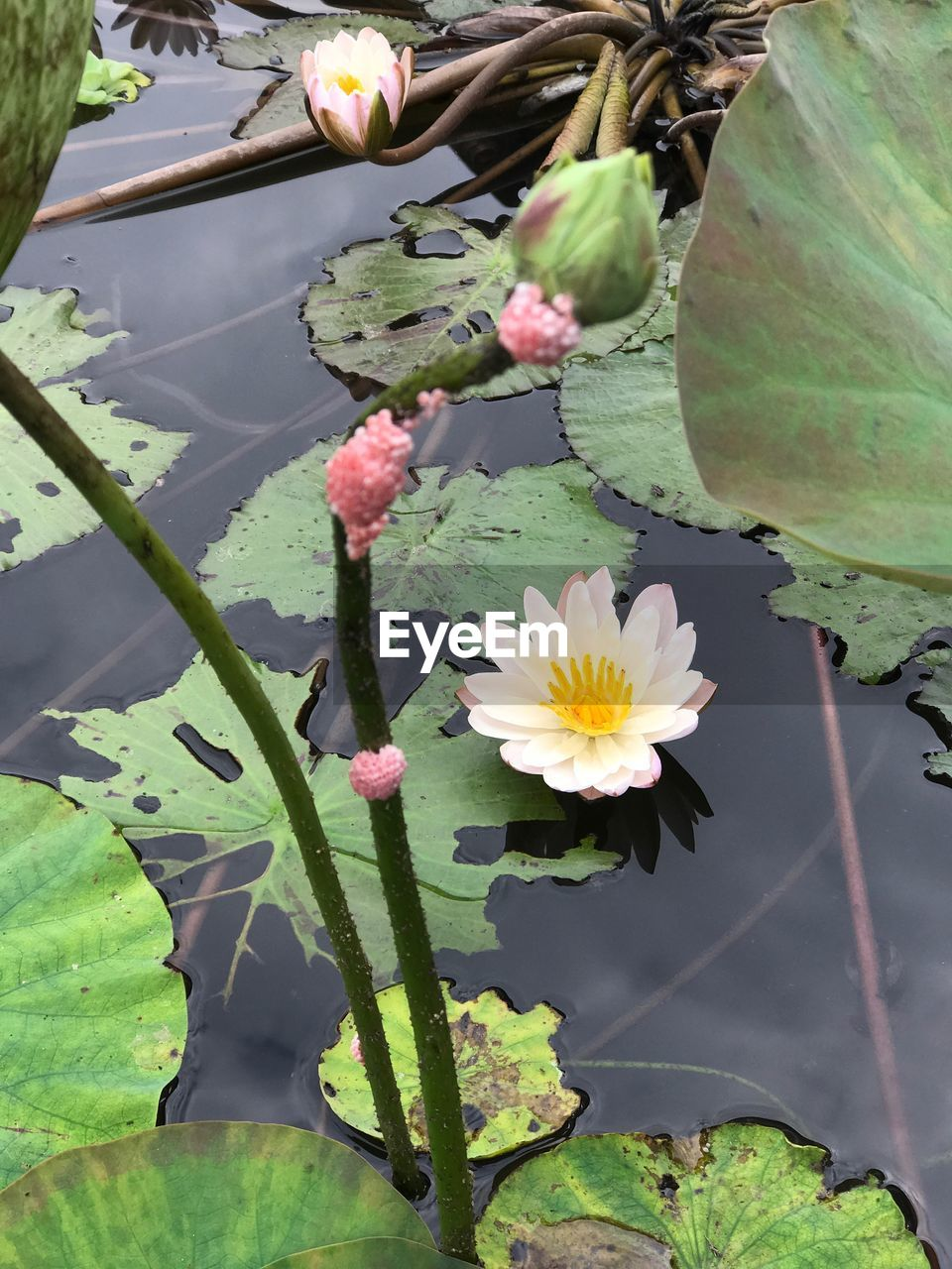 flower, growth, fragility, freshness, beauty in nature, nature, plant, flower head, petal, leaf, no people, day, high angle view, green color, outdoors, water lily, close-up, springtime, blooming, lotus water lily, water, lily pad, animal themes