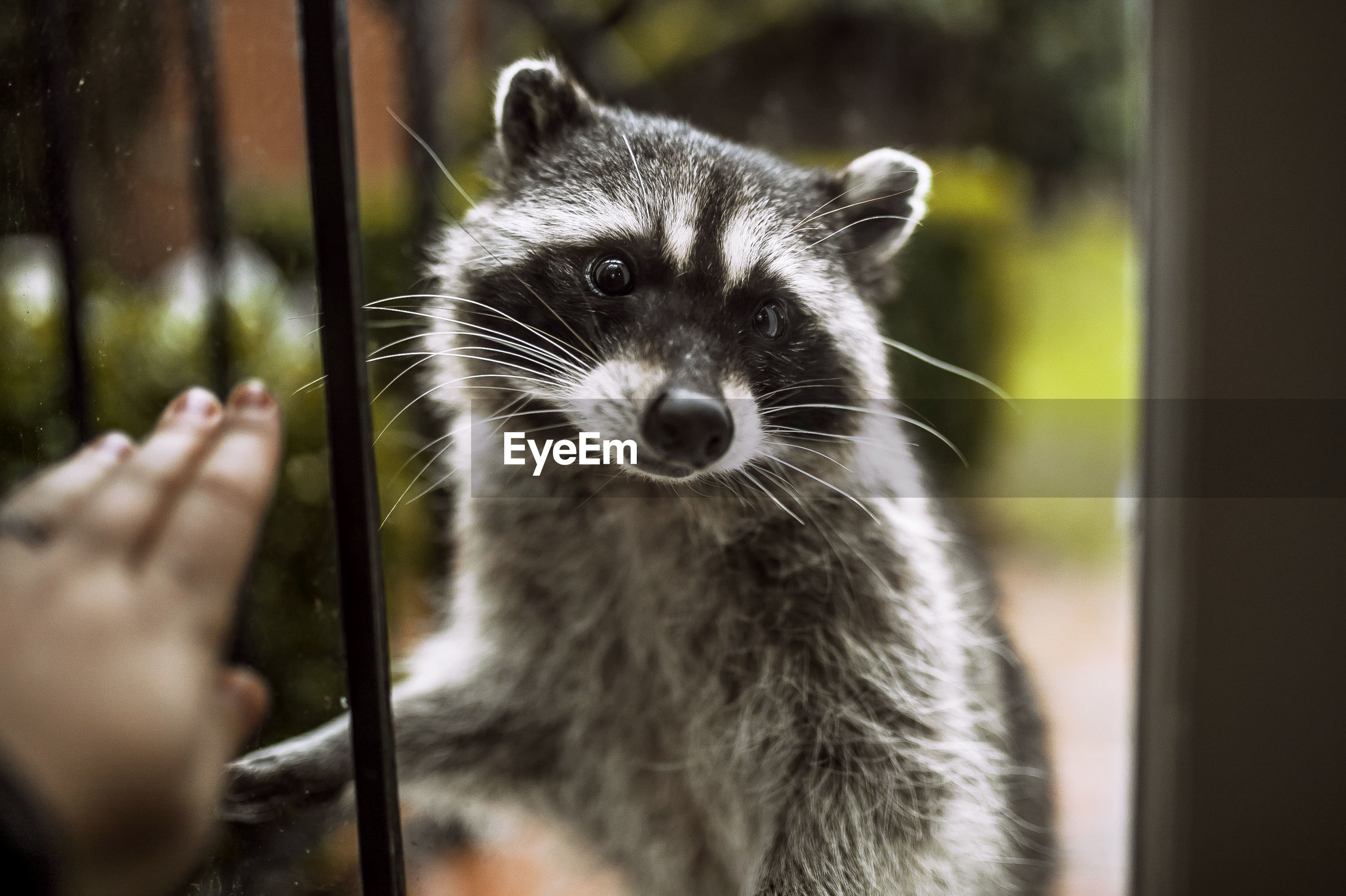 Cropped image of hand touching window against raccoon