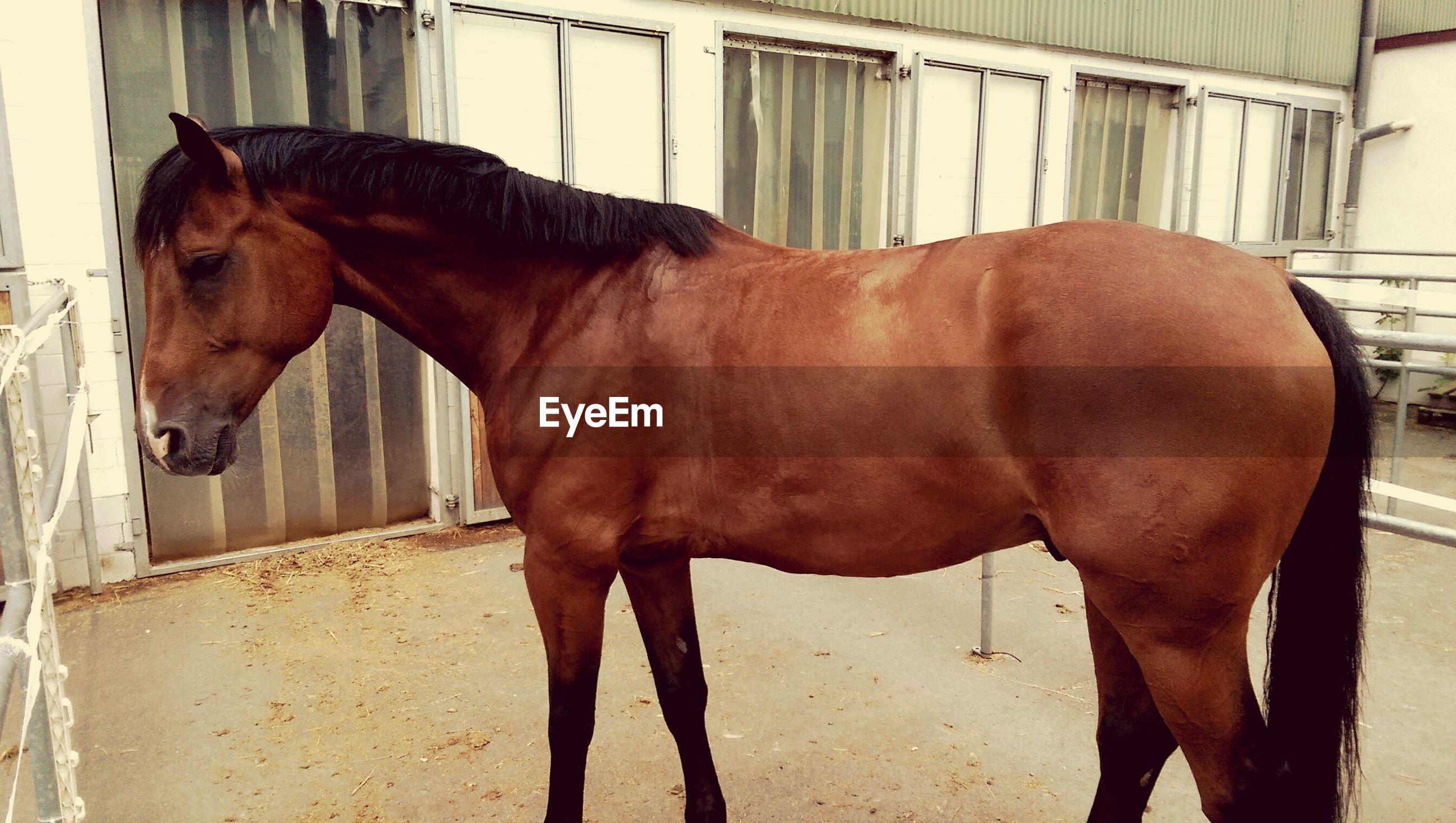 Brown horse in pen