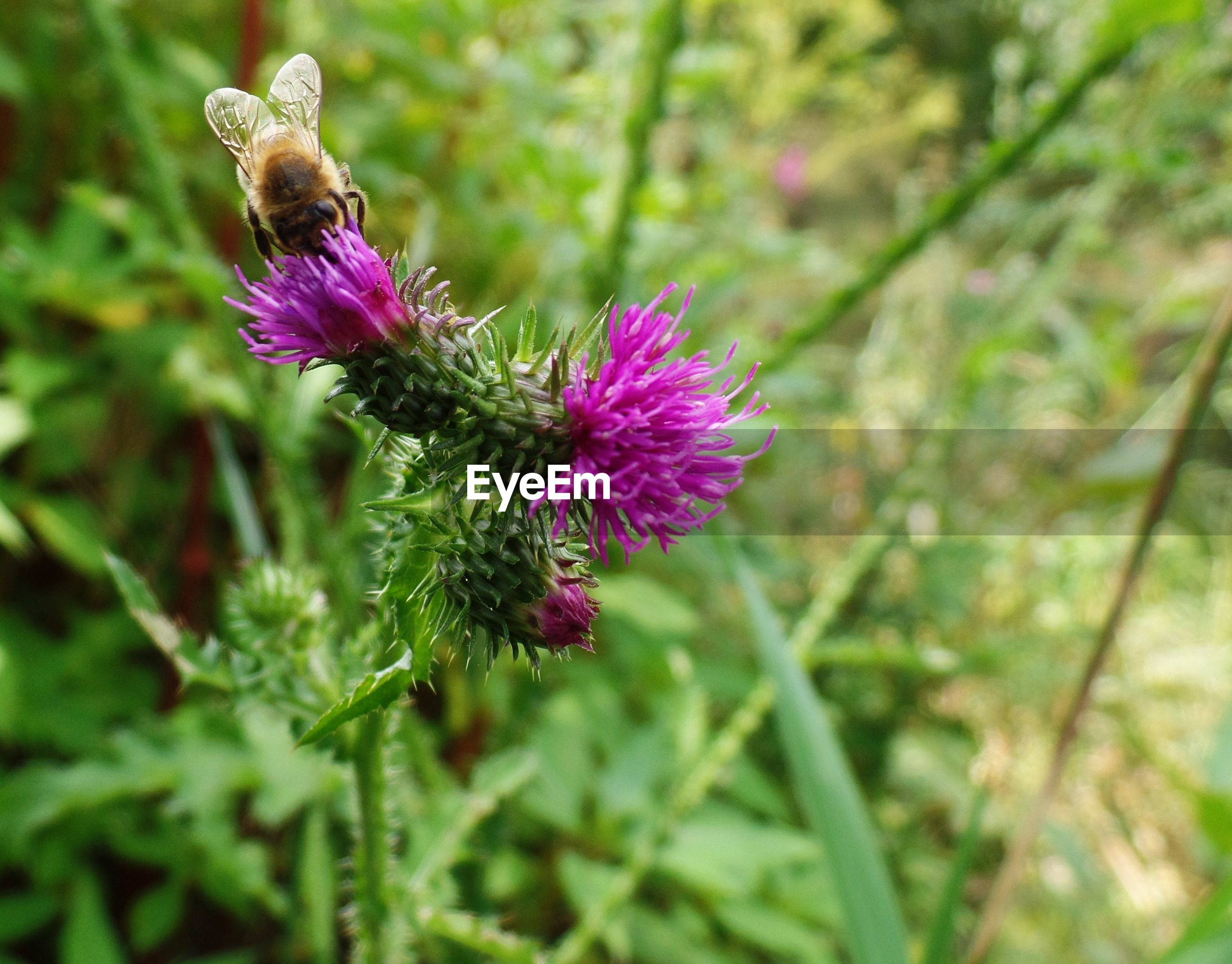 High angle view of insect on thistle blooming outdoors