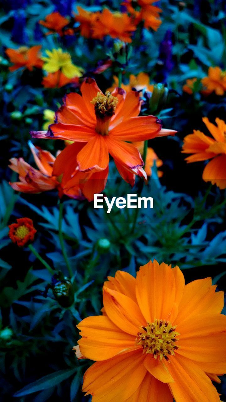 flowering plant, flower, fragility, vulnerability, petal, beauty in nature, freshness, flower head, plant, growth, inflorescence, close-up, orange color, nature, no people, pollen, focus on foreground, day, high angle view, outdoors, pollination