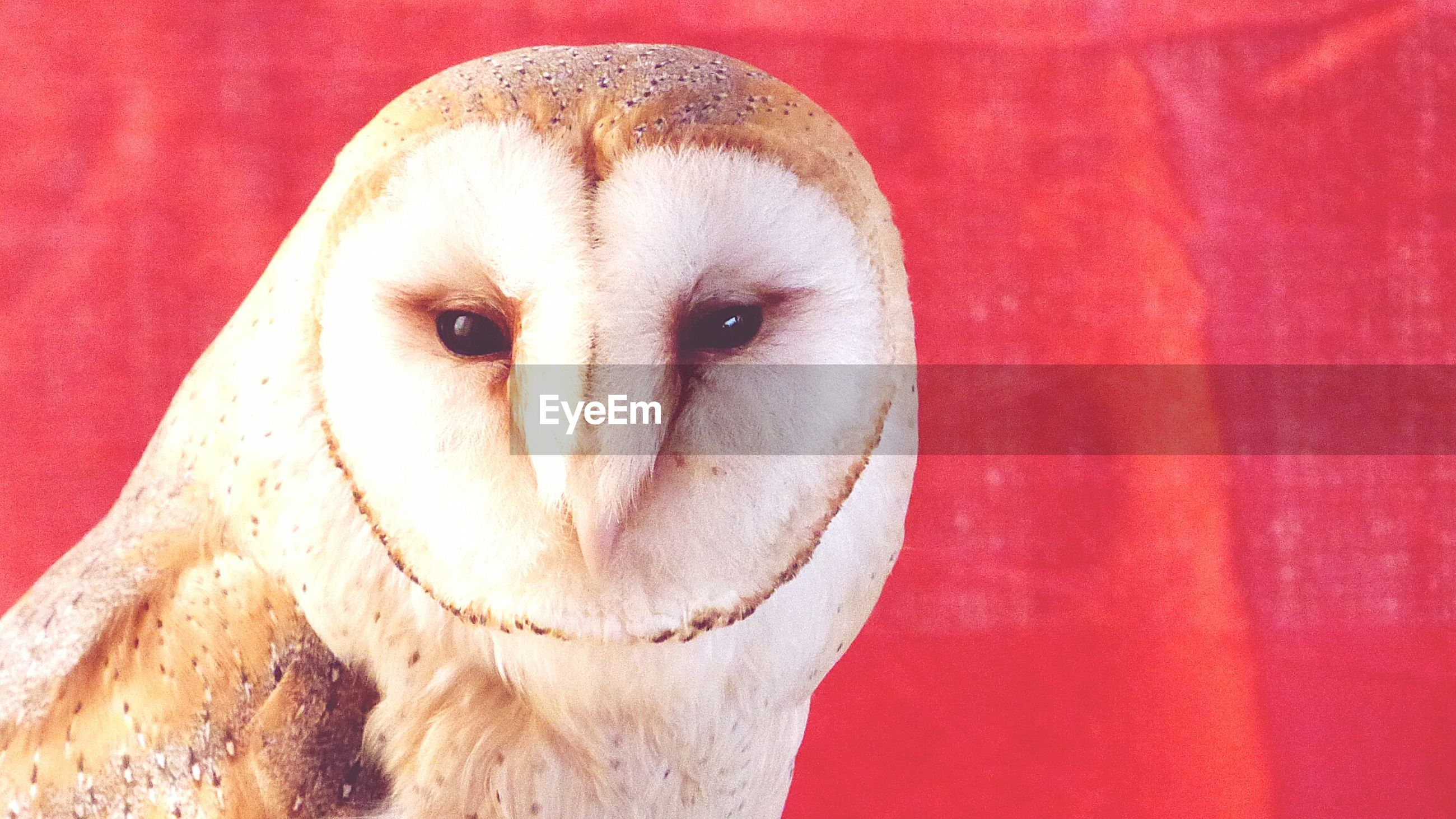 Close-up of barn owl against red wall