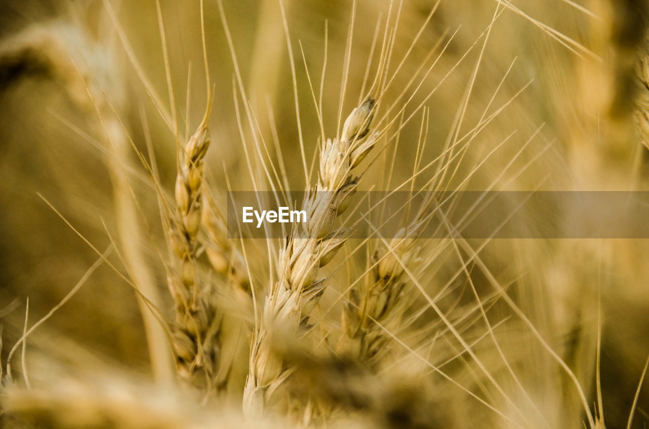 cereal plant, growth, agriculture, crop, wheat, ear of wheat, nature, field, farm, rural scene, beauty in nature, day, no people, close-up, rye - grain, outdoors, plant, grass