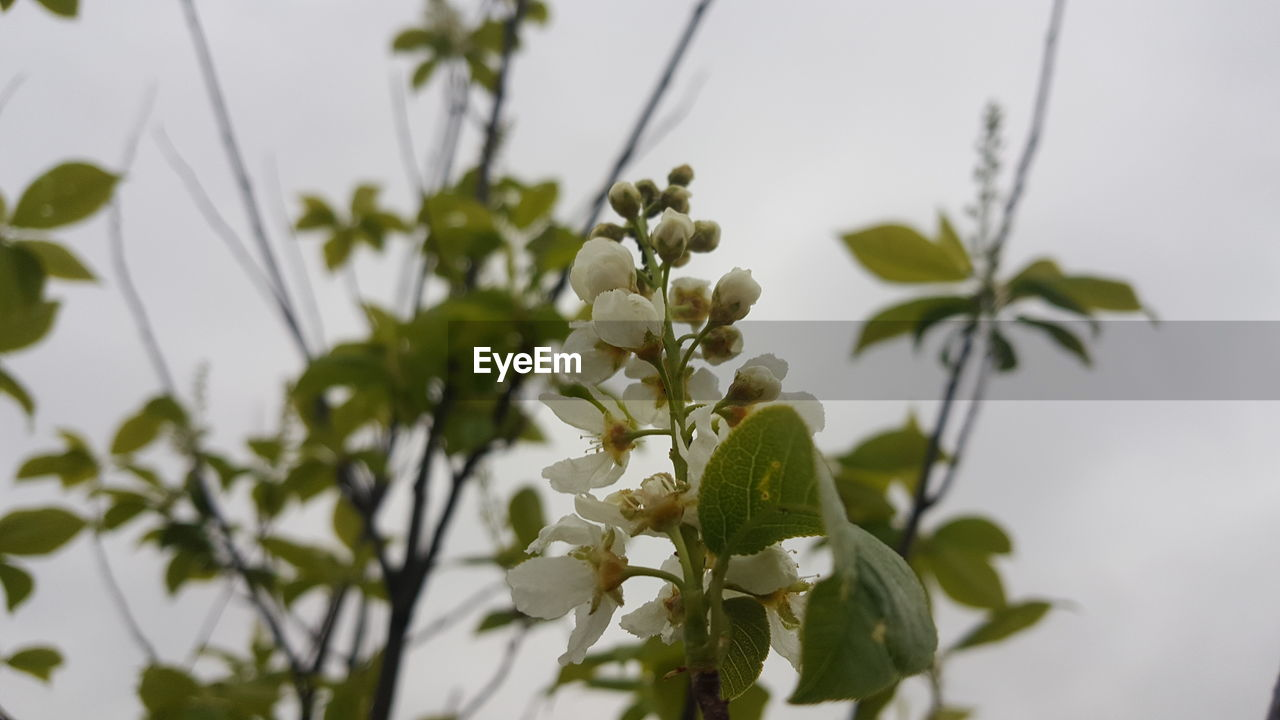 plant, growth, beauty in nature, vulnerability, fragility, flower, flowering plant, freshness, close-up, plant part, leaf, focus on foreground, no people, white color, nature, selective focus, petal, flower head, day, inflorescence, outdoors