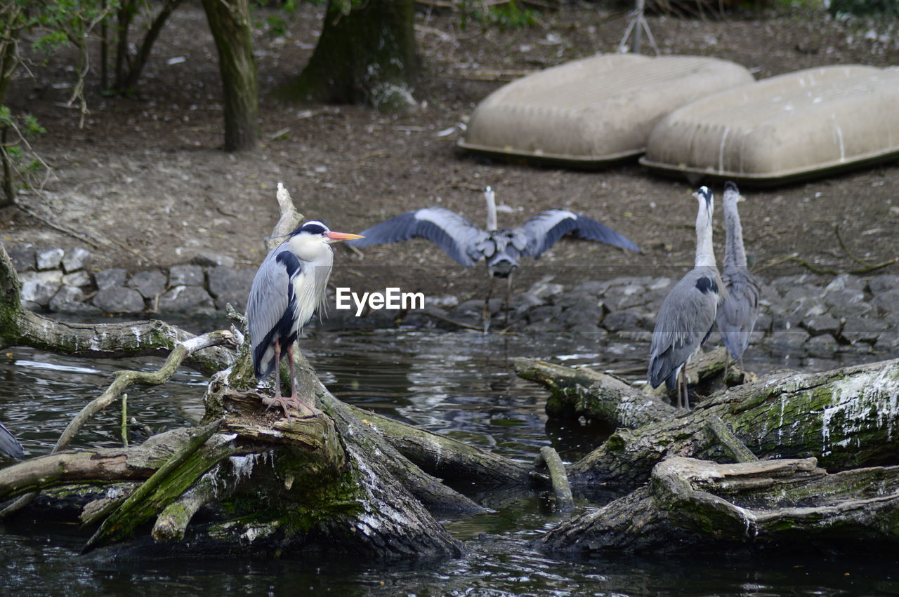 animals in the wild, animal wildlife, animal, animal themes, water, vertebrate, group of animals, bird, lake, no people, perching, tree, nature, day, two animals, heron, outdoors, rock, plant, driftwood