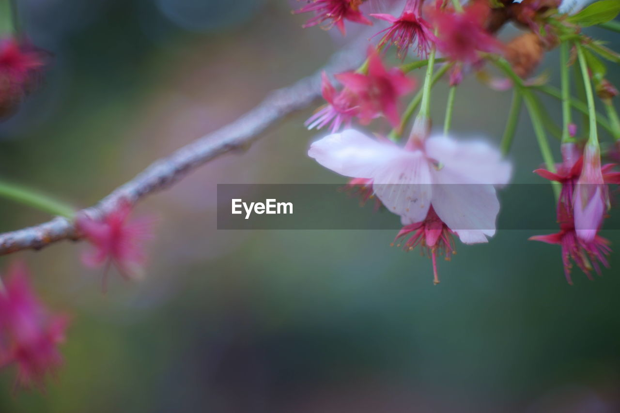flower, plant, flowering plant, beauty in nature, pink color, growth, freshness, fragility, close-up, petal, vulnerability, selective focus, inflorescence, flower head, no people, day, focus on foreground, nature, blossom, branch, outdoors, springtime, pollen, cherry blossom