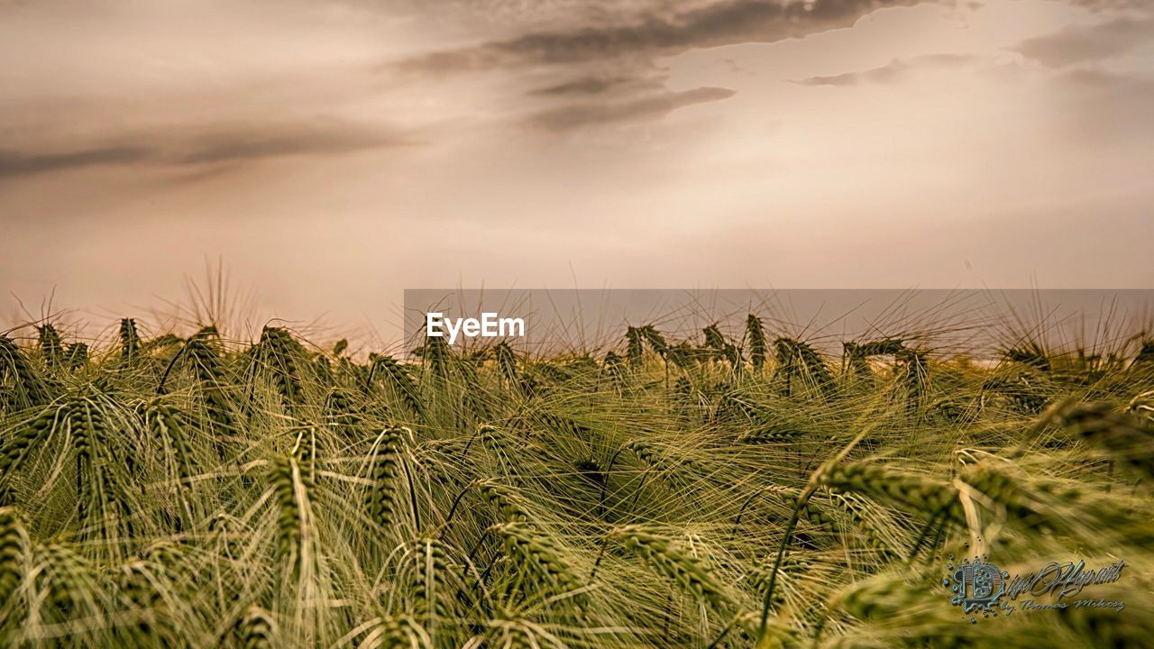 growth, field, nature, crop, agriculture, rural scene, tranquil scene, beauty in nature, tranquility, cereal plant, scenics, outdoors, no people, day, sky, plant, sunset, landscape, wheat, close-up, grass, freshness