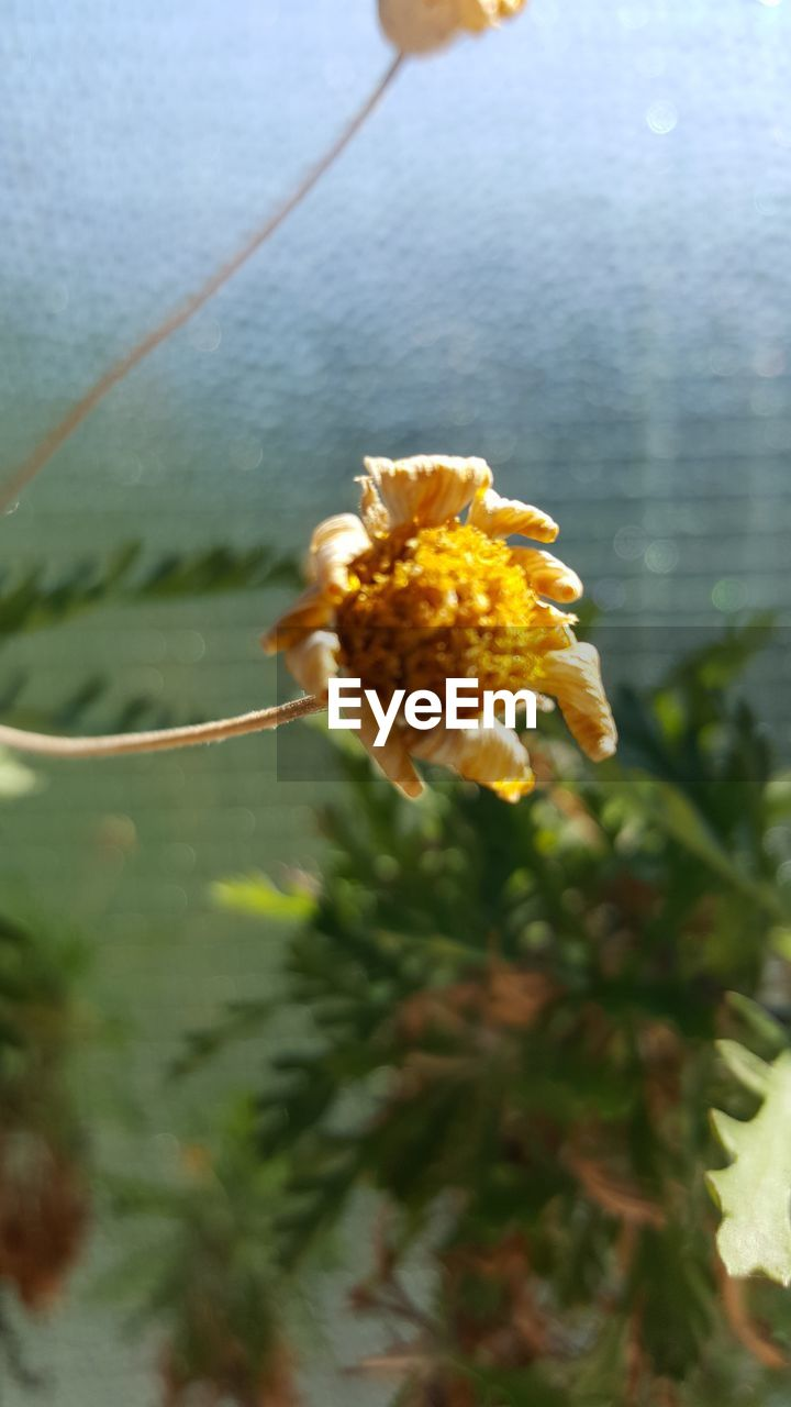 flower, plant, flowering plant, fragility, vulnerability, beauty in nature, close-up, growth, freshness, nature, yellow, focus on foreground, day, no people, flower head, inflorescence, petal, selective focus, outdoors, water, pollen