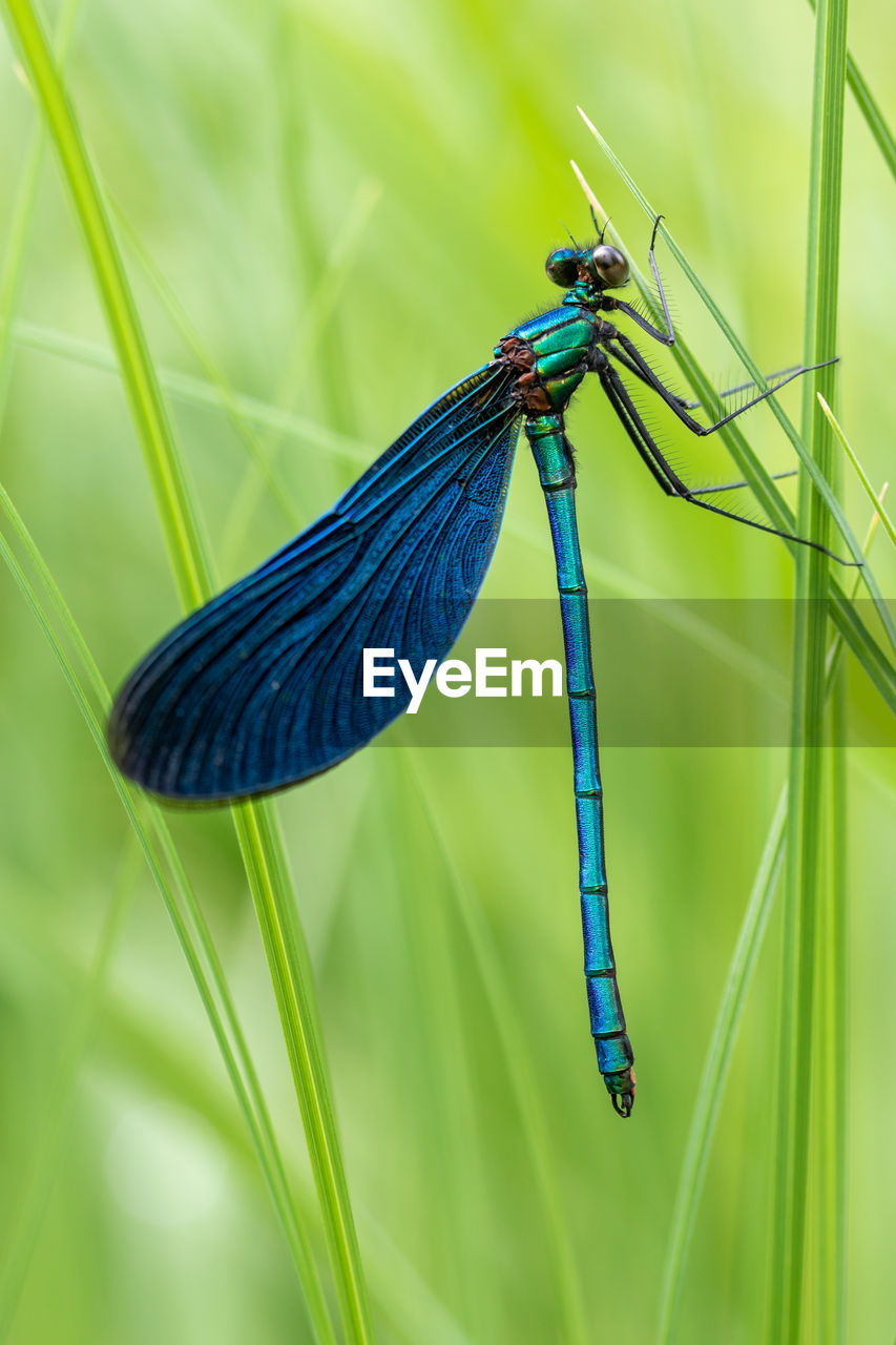 animals in the wild, animal themes, one animal, plant, animal wildlife, invertebrate, blue, insect, focus on foreground, green color, animal, close-up, nature, damselfly, no people, day, grass, growth, beauty in nature, animal wing, blade of grass, purple