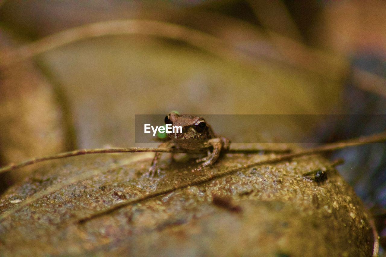 animal themes, animal, one animal, animal wildlife, animals in the wild, selective focus, close-up, no people, vertebrate, reptile, lizard, nature, day, amphibian, outdoors, insect, frog, plant part, zoology, leaf