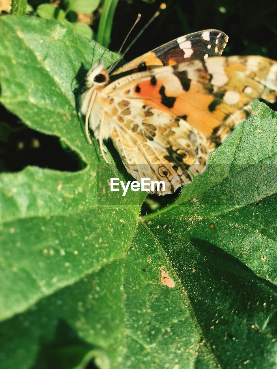 plant part, leaf, insect, invertebrate, animal themes, animal, one animal, animal wildlife, animals in the wild, green color, close-up, nature, butterfly - insect, beauty in nature, no people, day, animal wing, plant, growth, outdoors, butterfly