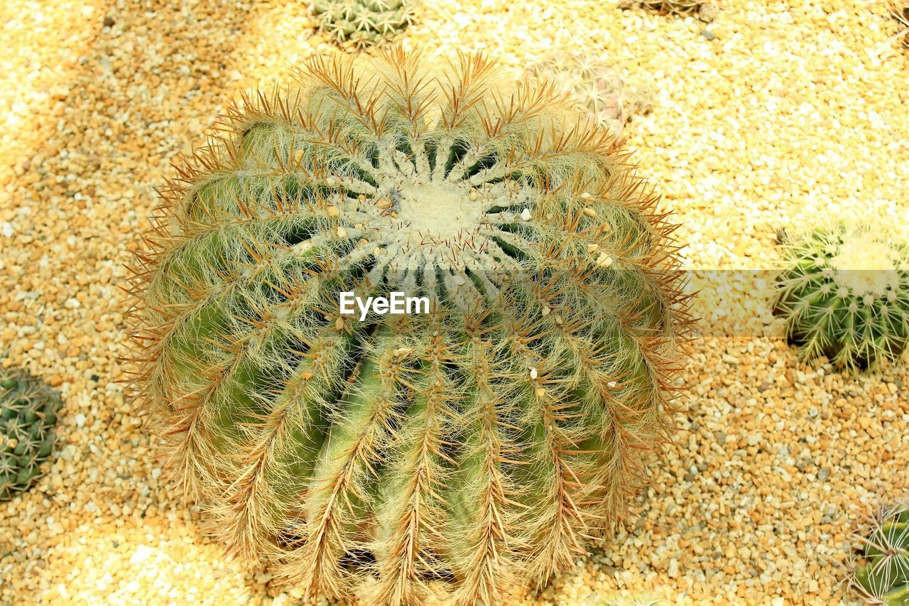 plant, cactus, growth, succulent plant, nature, no people, barrel cactus, thorn, green color, beauty in nature, close-up, day, sharp, spiked, outdoors, high angle view, land, natural pattern, desert, climate, arid climate, flower