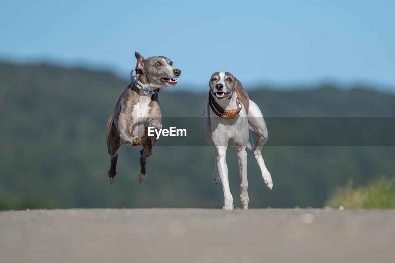 Dogs running on land