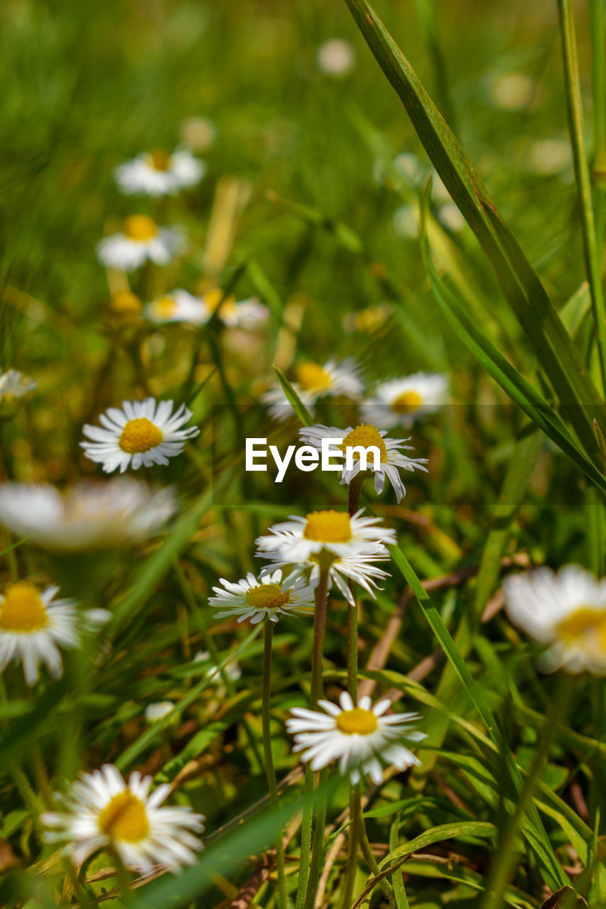 flowering plant, flower, plant, fragility, freshness, vulnerability, beauty in nature, petal, growth, flower head, inflorescence, white color, nature, close-up, field, no people, day, daisy, selective focus, land, outdoors, pollen