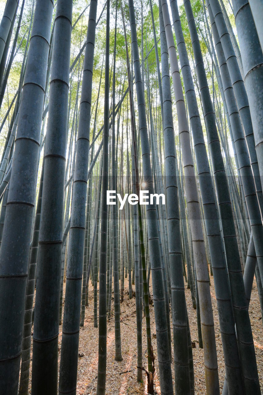 forest, tree, bamboo - plant, plant, bamboo grove, beauty in nature, nature, land, bamboo, tranquility, tree trunk, trunk, growth, day, no people, sunlight, outdoors, low angle view, tall - high, woodland
