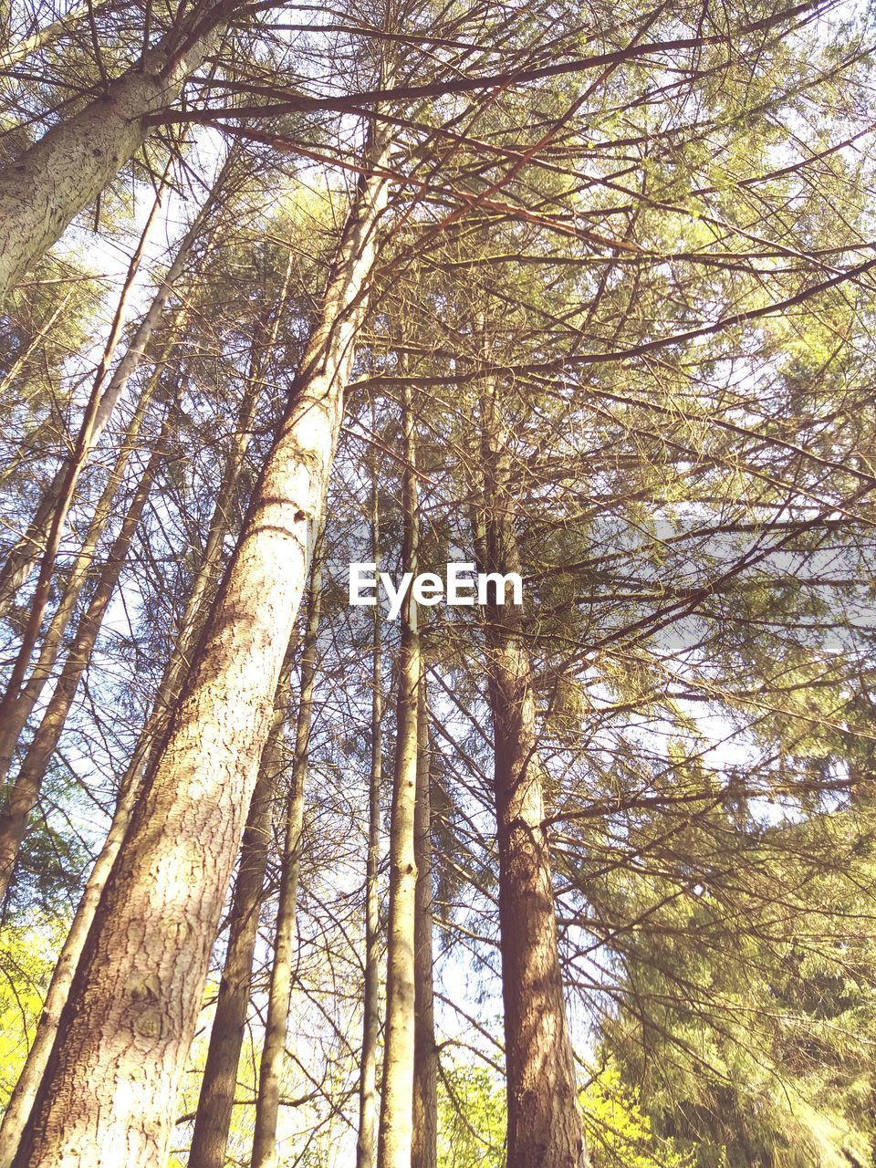 tree, plant, forest, low angle view, tree trunk, woodland, trunk, land, growth, tranquility, beauty in nature, nature, tall - high, no people, day, branch, outdoors, scenics - nature, non-urban scene, tranquil scene, tree canopy, bamboo - plant, pine tree, pine woodland, coniferous tree