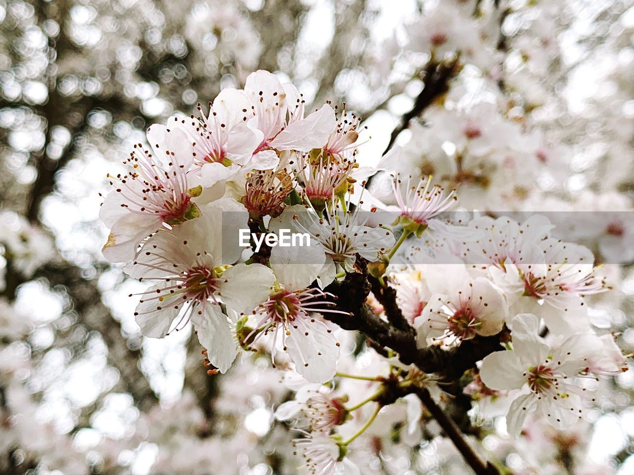 flowering plant, flower, plant, fragility, vulnerability, freshness, growth, beauty in nature, tree, blossom, springtime, cherry blossom, branch, petal, pollen, close-up, flower head, nature, inflorescence, day, no people, cherry tree, outdoors, bunch of flowers, spring