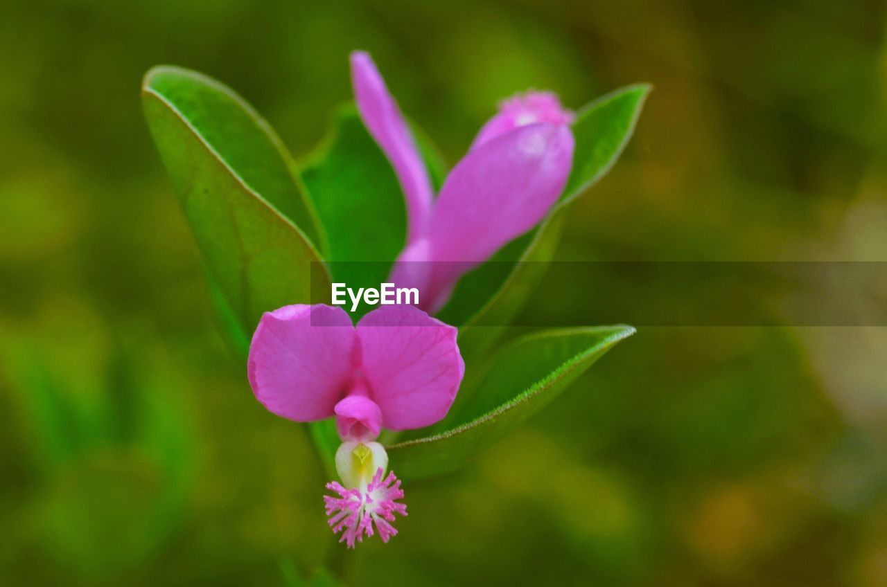 flower, petal, nature, fragility, beauty in nature, growth, plant, freshness, no people, focus on foreground, flower head, blooming, close-up, day, pink color, outdoors, periwinkle