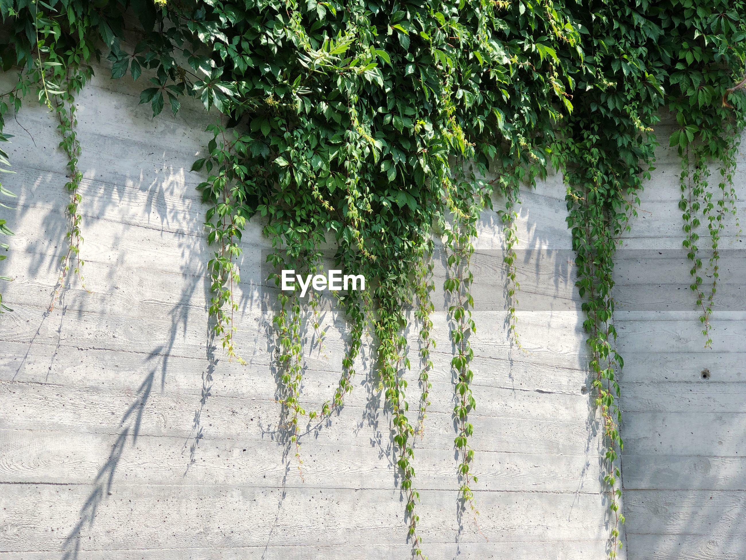 IVY GROWING ON TREE TRUNK FOOTPATH