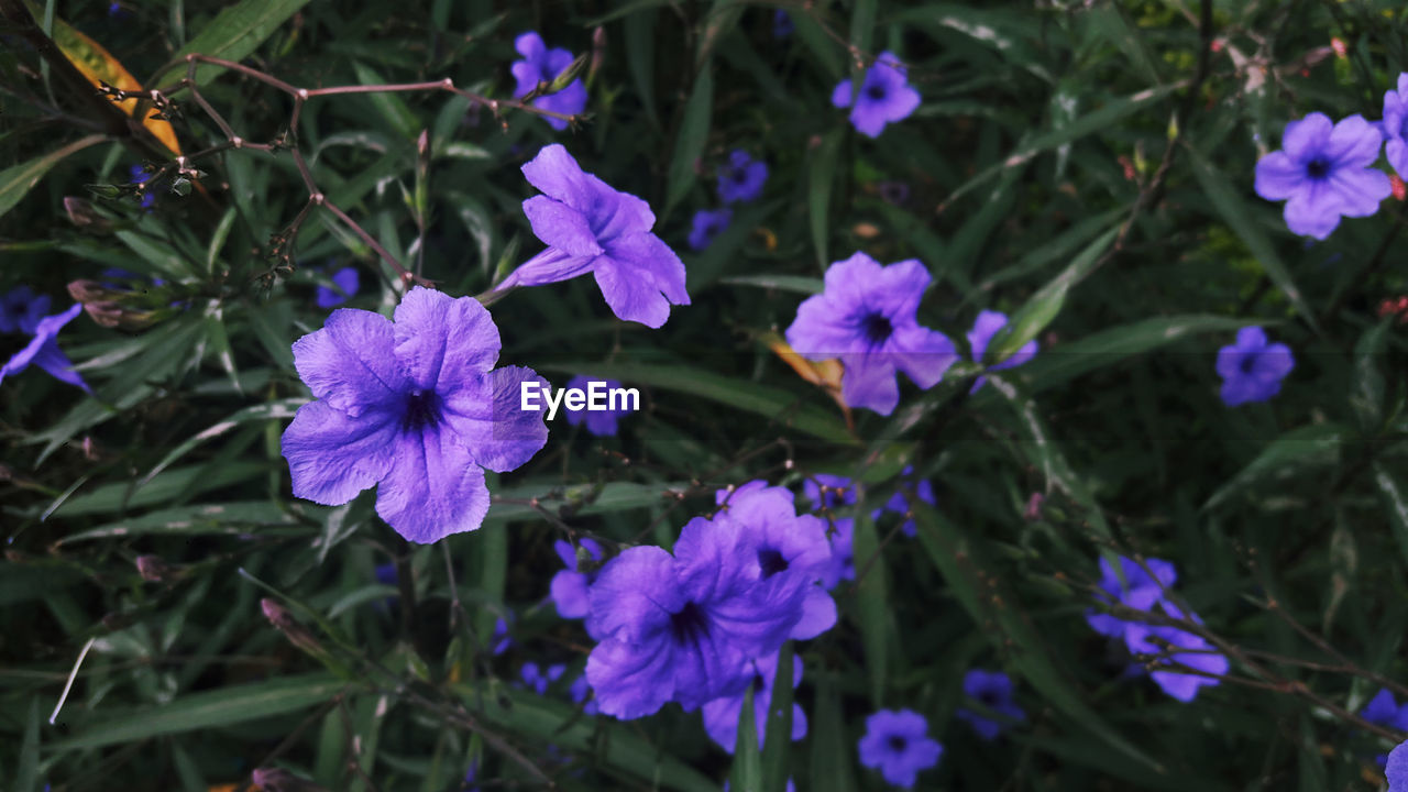 flower, purple, beauty in nature, growth, nature, fragility, petal, plant, outdoors, no people, day, blooming, flower head, freshness, blue, close-up