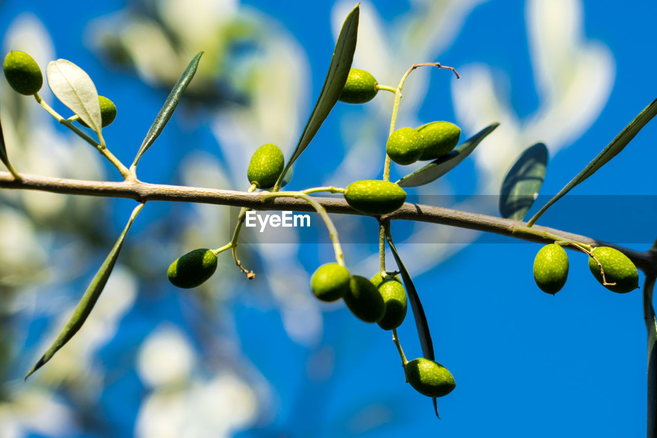 growth, plant, blue, nature, no people, green color, day, close-up, low angle view, beauty in nature, healthy eating, freshness, tree, food and drink, focus on foreground, sky, food, olive, branch, selective focus, outdoors, spring