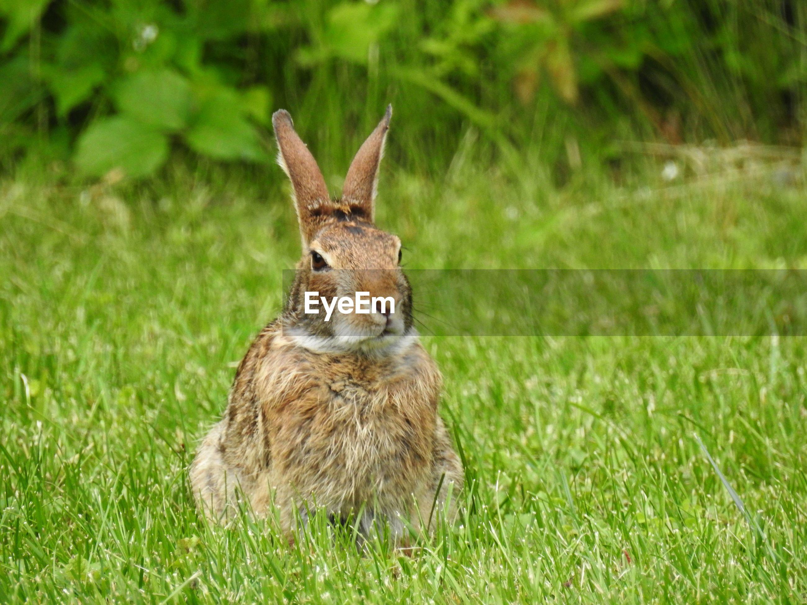 Wild rabbit sitting on grass