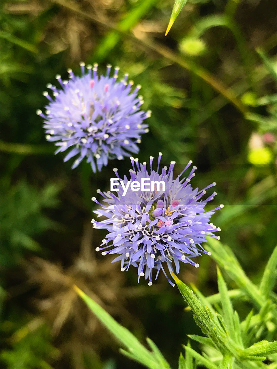 flower, flowering plant, plant, freshness, vulnerability, fragility, beauty in nature, purple, growth, flower head, close-up, inflorescence, petal, nature, no people, thistle, focus on foreground, day, botany