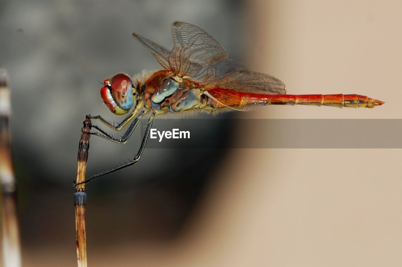invertebrate, insect, animal themes, animal, animal wildlife, animals in the wild, one animal, close-up, focus on foreground, animal wing, no people, day, nature, selective focus, dragonfly, animal body part, outdoors, zoology, twig, plant, animal eye