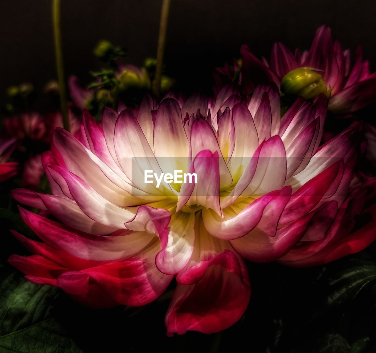 flower, flowering plant, beauty in nature, vulnerability, plant, fragility, freshness, close-up, petal, flower head, inflorescence, nature, growth, pink color, no people, dahlia, day, outdoors, softness, flower arrangement, bouquet