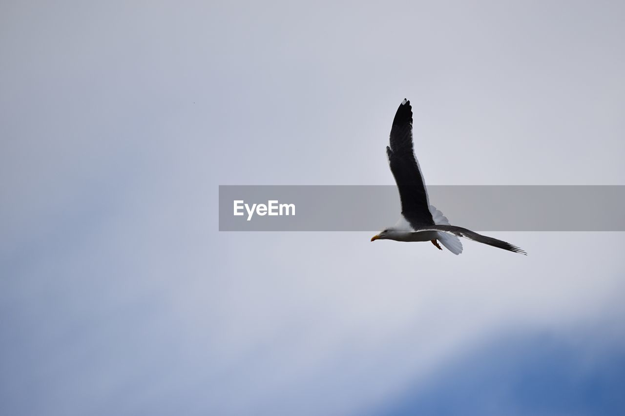 animals in the wild, bird, animal themes, animal wildlife, flying, animal, vertebrate, spread wings, sky, low angle view, mid-air, one animal, no people, nature, clear sky, seagull, copy space, day, beauty in nature, outdoors