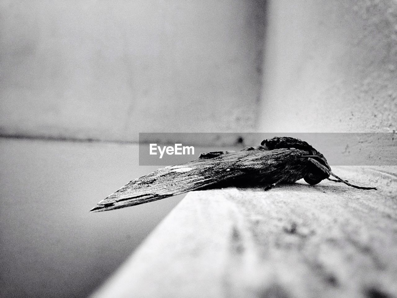 Dead Moth Against Wall